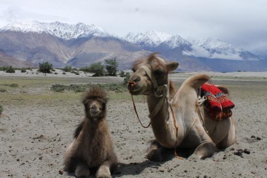 Vallee de la nubra desert froid chameaux hunder